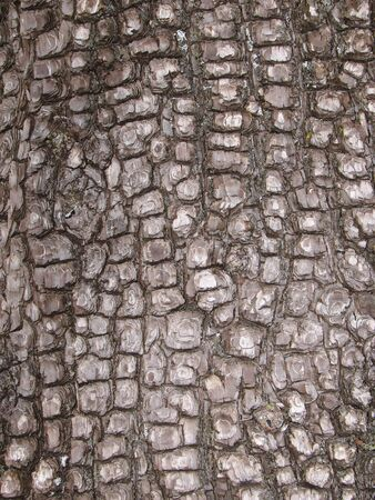 close up of Alligator Juniper ( Juniperus deppeana ) bark Stock Photo - 3615584