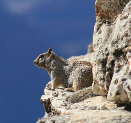 rock squirrel ( Spermophilus variegatus ) sitting on a ledge of the Grand Canyon Stock Photo