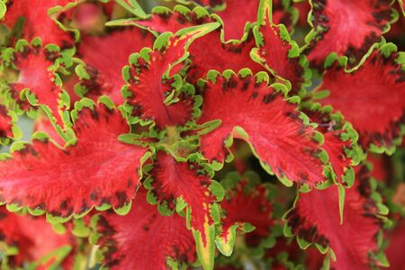 red and green coleus houseplant leaves Stock Photo - 3634165