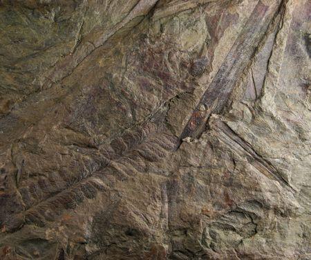 carboniferous: Carboniferous fern fossils in shale Stock Photo