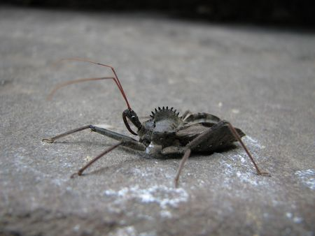 assasin: close up of wheel bug (Arilus cristatus), or assasin bug on a rock from the side Stock Photo