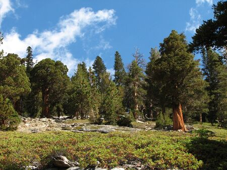 evergreen trees in the Sierra Nevada mountains with manzanita in the foreground 스톡 콘텐츠