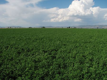 a green field of alfalfa with clouds in the blue sky above in the Klamath valley