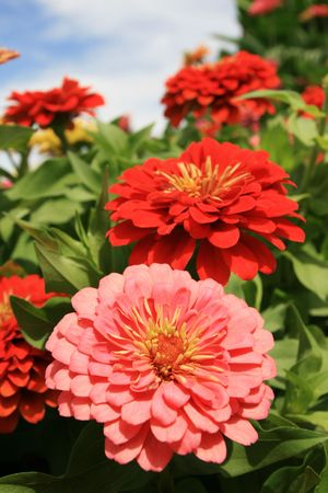 red and pink zinnia flowers