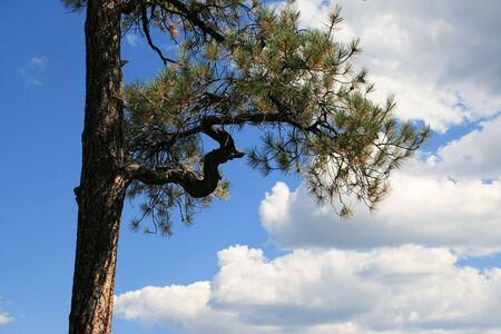 ponderosa: curved ponderosa pine branch against a partly cloudy blue sky