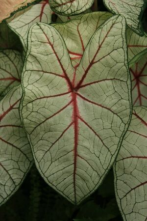 caladium leaf with red and green veins Stock Photo - 3672292