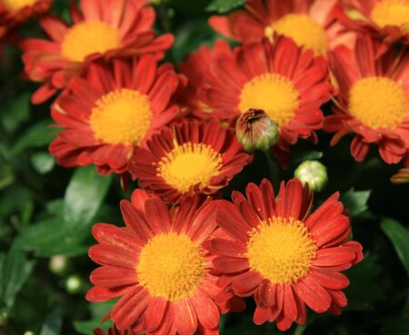 red and yellow mum chrysanthemum flowers with focus on nearer blooms Stock Photo - 3672296
