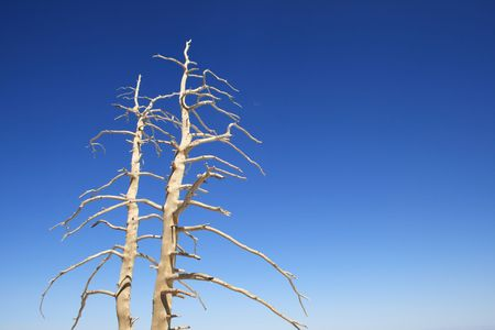bleached dead tree branches against a blue sky Stock Photo - 3691476