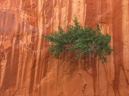 streaked: A lone desert tree canopy against a streaked red sandstone canyon wall Stock Photo