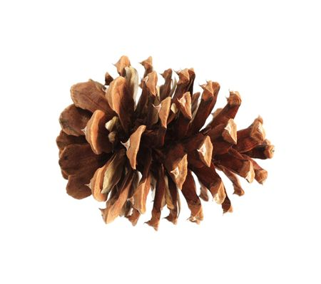 ponderosa pine: ponderosa (Pinus ponderosa) pine cone isolated on white