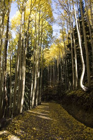 aspen grove: vertical image of country road surrounded by aspen grove with yellow fall colors