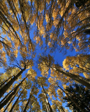 wide angle view up in aspen (Populus tremuloides) grove in the fall with yellow leaves Stock Photo - 3703751
