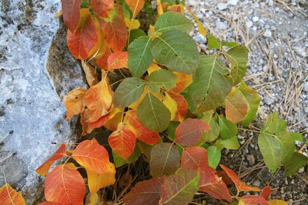 poison ivy leaves turning red and yellow in the fall Stock Photo - 3703744