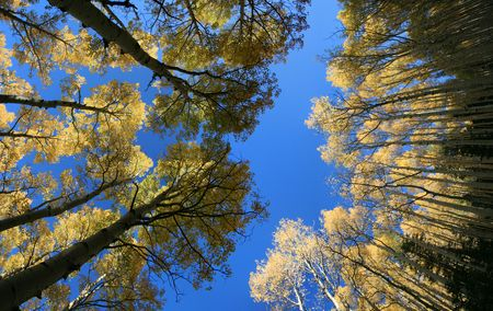 wide view up in aspen (Populus tremuloides) grove in the autumn with yellow leaves against a blue sky Stock Photo - 3740620