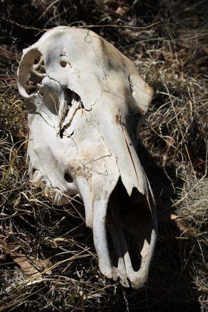 white horse skull sitting in dry grass Stock Photo - 3747711