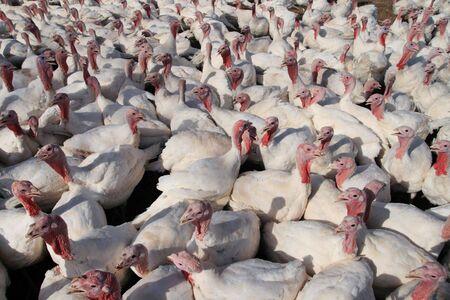 many white domestic turkeys on a farm Stock Photo