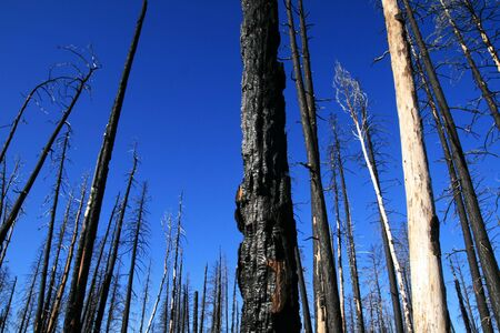 treetrunk: charred pine tree trunks from a forest fire with a blue sky background