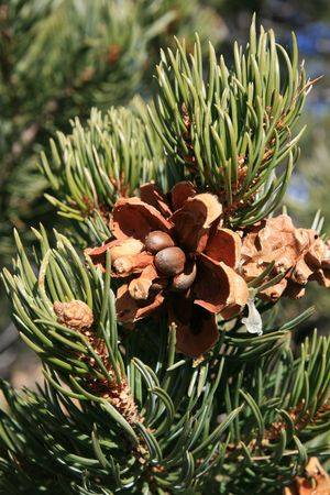 closeup of pinyon pine cone on tree with pine nuts