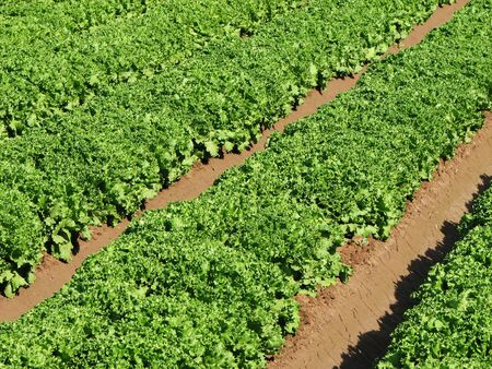 rows of green leaf lettuce cross the image diagonally Stock Photo - 3863967