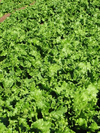 rows of green leaf lettuce cross the image diagonally Stock Photo - 3863949
