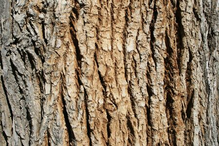 horizontal image of the bark on an old cottonwood (populus fremontii) tree trunk Stock Photo - 3864032