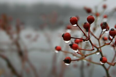 closeup of wet red berries on a plant with shallow depth of field and water drops Stock Photo - 3864034