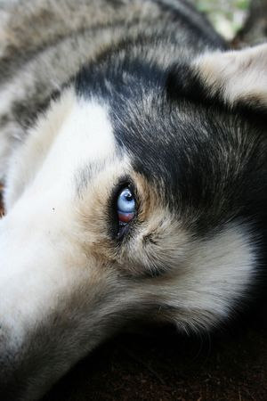 blue eye husky: resting husky dog looks up with one blue eye