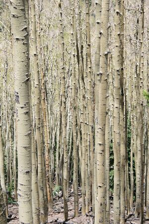 vertical image of aspen (Populus tremuloides) grove with bare trunks Stok Fotoğraf