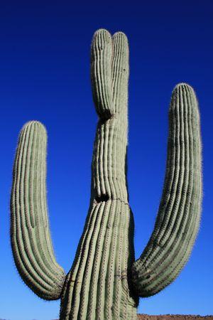 Saguaro cactus (Carnegiea gigantea) against a blue sky