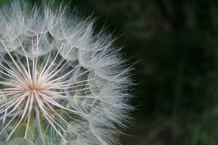 macro of the seed head of the salsify or goatsbeard plant Stock Photo - 3977189