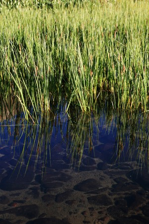 vertical image of clear mountain pond with green reeds and reflection Stock Photo - 4064621
