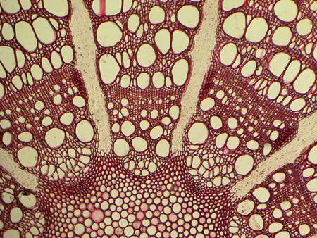 microphotograph van gekleurd Clematis steel dwarsdoorsnede genomen door middel van een microscoop