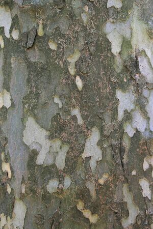 American sycamore (Platanus occidentalis) bark background texture