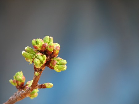 buds on a cherry tree just starting to open with copy space in blurred blueish background Stock Photo