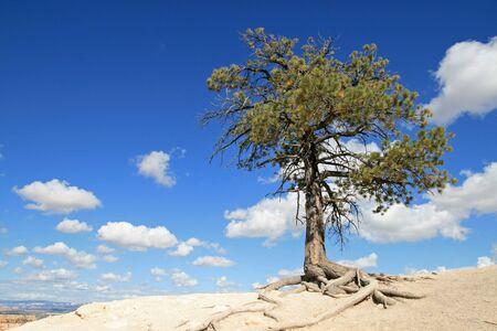 lone pine tree on the edge of a cliff with blue sky and clouds Stock Photo - 4165006