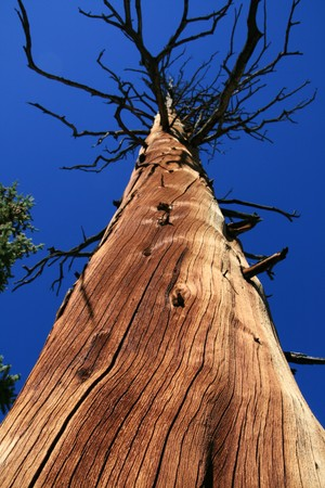 looking up a large dead pine tree into a blue sky Stock Photo - 4184998