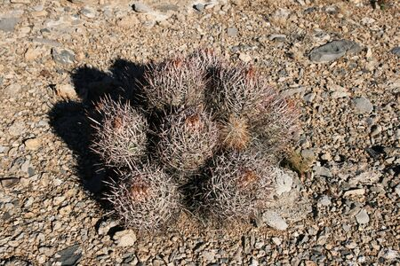 desert cactus bunch on flat gravel plain Stock Photo - 4293156
