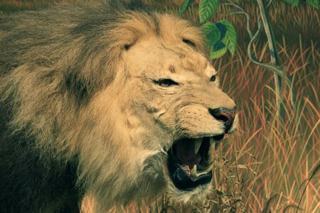 aggressive African lion head with mouth open showing teeth