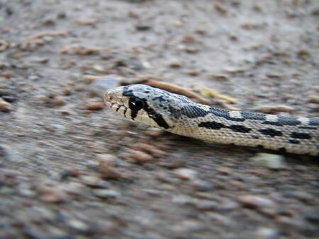 macro of gopher snake (Pituophis catenifer) slithering across the ground with panning motion blur Stock Photo - 4307521