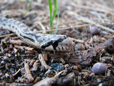 macro of gopher snake (Pituophis catenifer) crawling across ground Stock Photo - 4307524