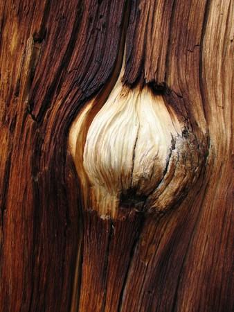 sandblasted: white burl on dark pine tree trunk