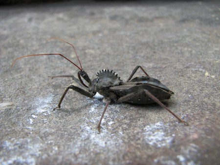 macro of wheel bug (Arilus cristatus), or assassin bug on a rock Stock Photo - 4333020