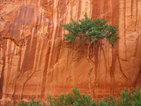 streaked: A lone desert cottonwood tree against a streaked red sandstone canyon wall