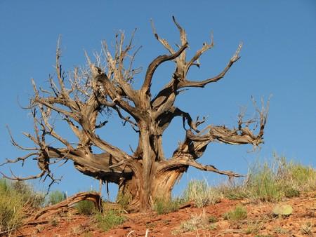 gnarled: muertos enebro �rbol retorcido desierto contra un cielo azul de fondo