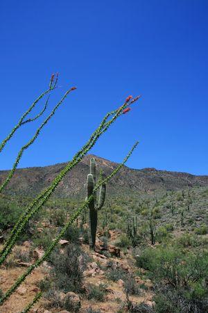 ocotillo: blooming ocotillo cactus with saguaro cactus behind it in the Arizona Desert