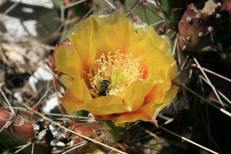 yellow beavertail cactus flower with a bee Фото со стока - 5269747