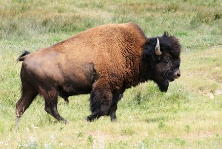 bison, or american buffalo (Bison bison) walking in a prairie