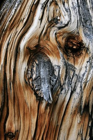 pine wood dead tree trunk knot from old branch Stock Photo - 5347672