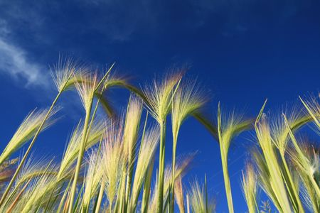 grass seed heads with a deep blue sky background Stock Photo - 5369719