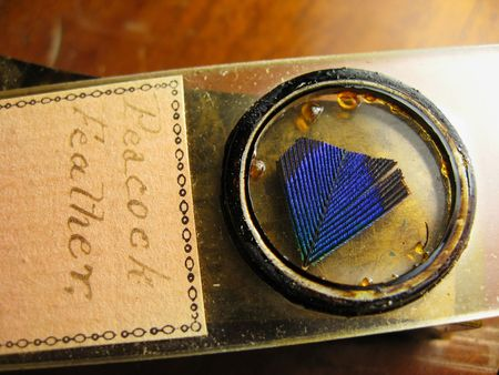 microscope slide: old labeled antique microscope slide of peacock feather